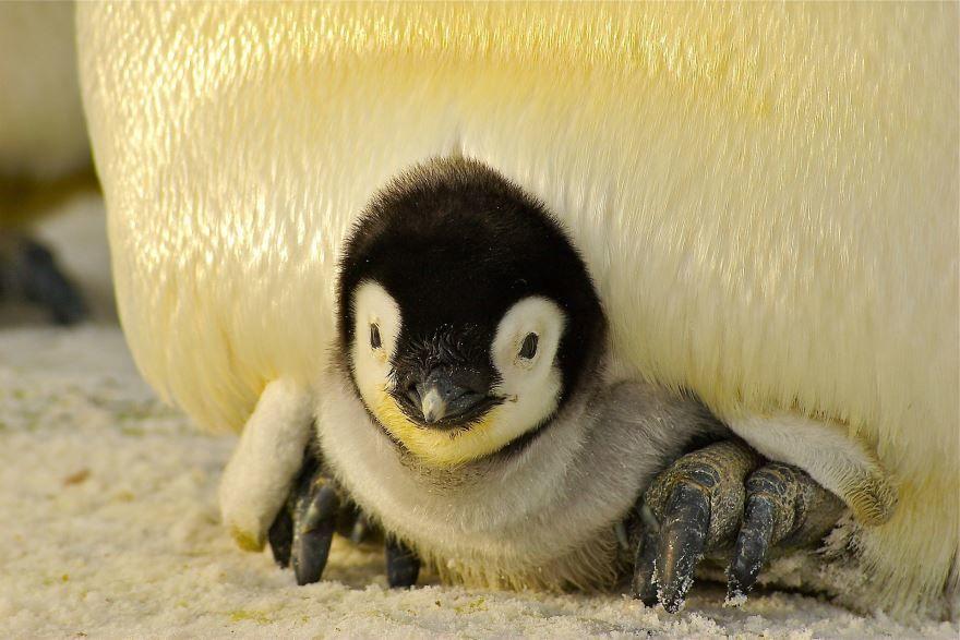 Смотреть картинку большого пингвина онлайн бесплатно