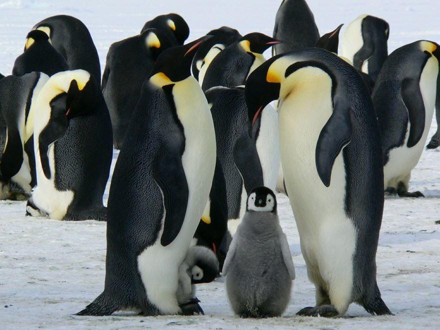 Скачать онлайн бесплатно фото большого, красивого пингвина
