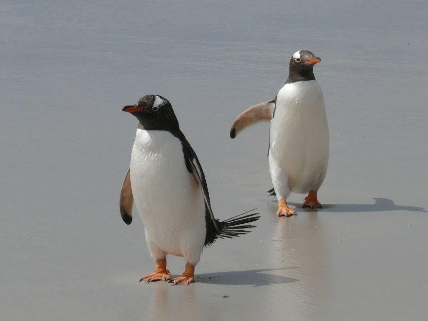 Необыкновенное фото двух пингвинов