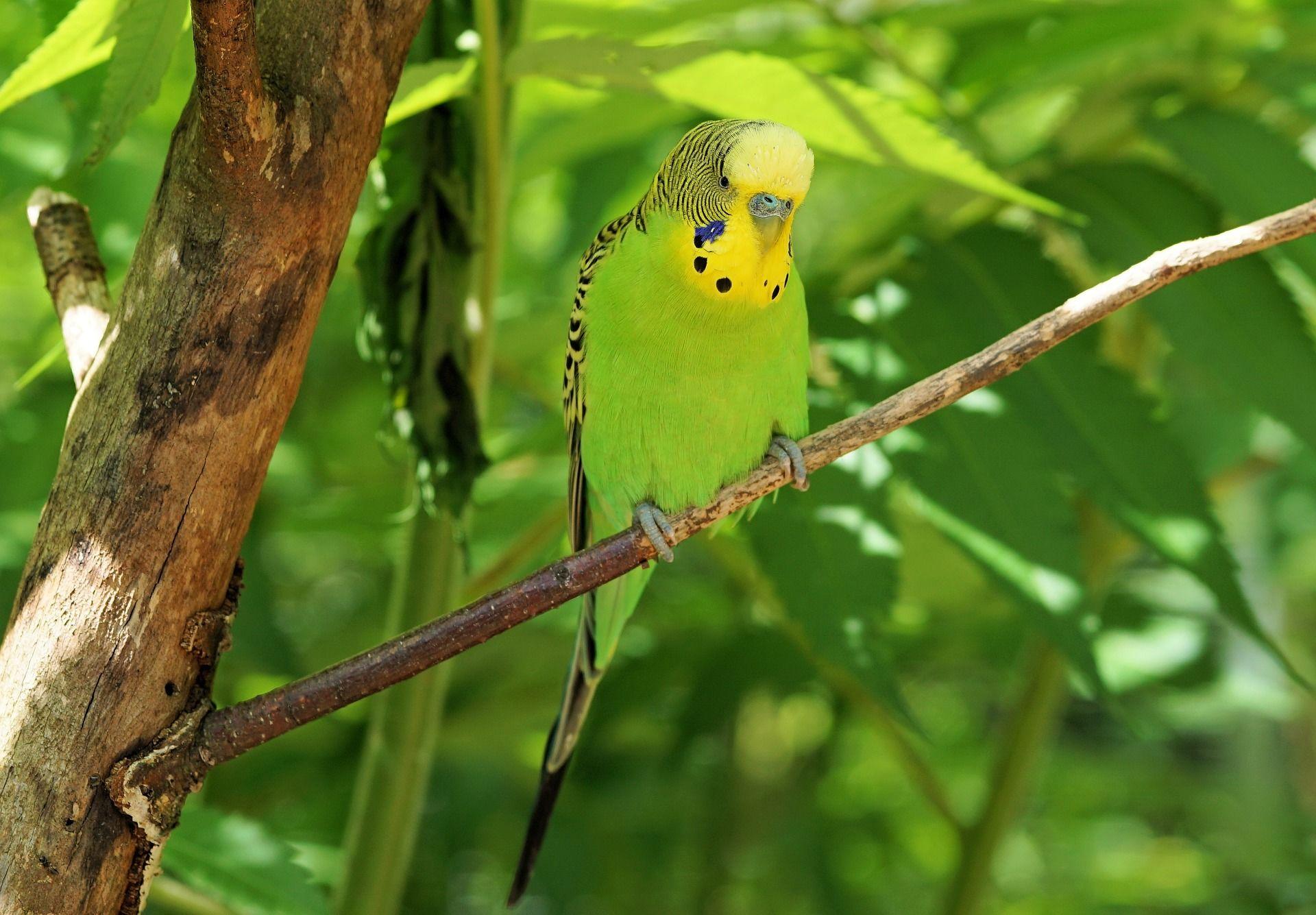 Смотреть лучшее фото волнистого попугая бесплатно