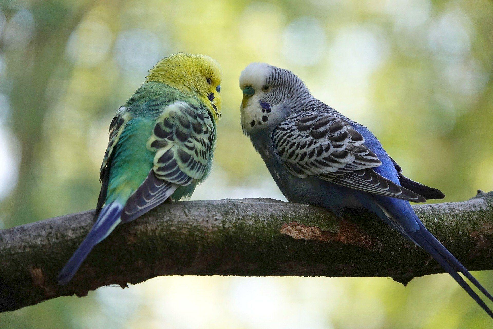 Красивое фото необычного волнистого попугая