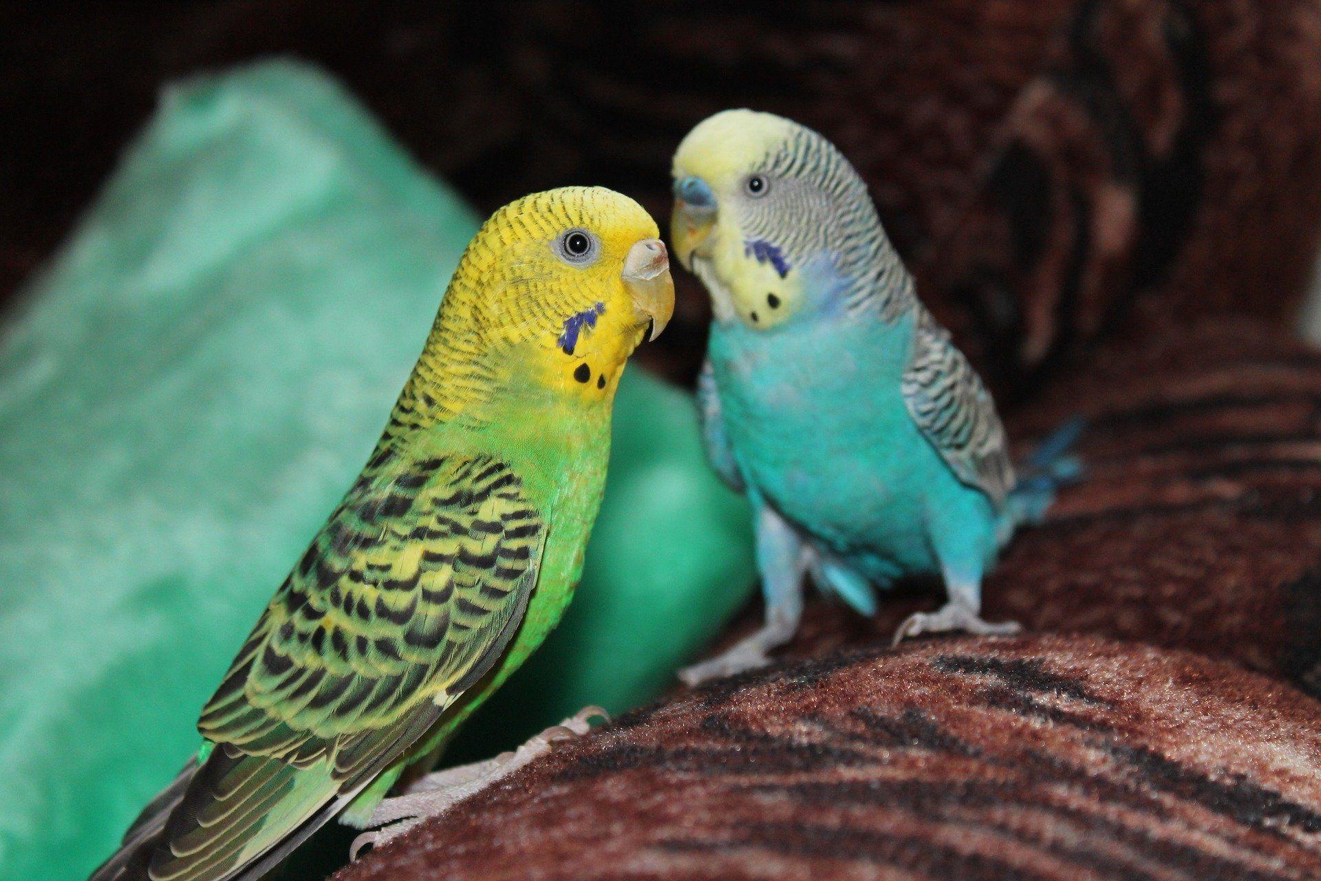 Скачать бесплатно красивую картинку двух волнистых попугаев