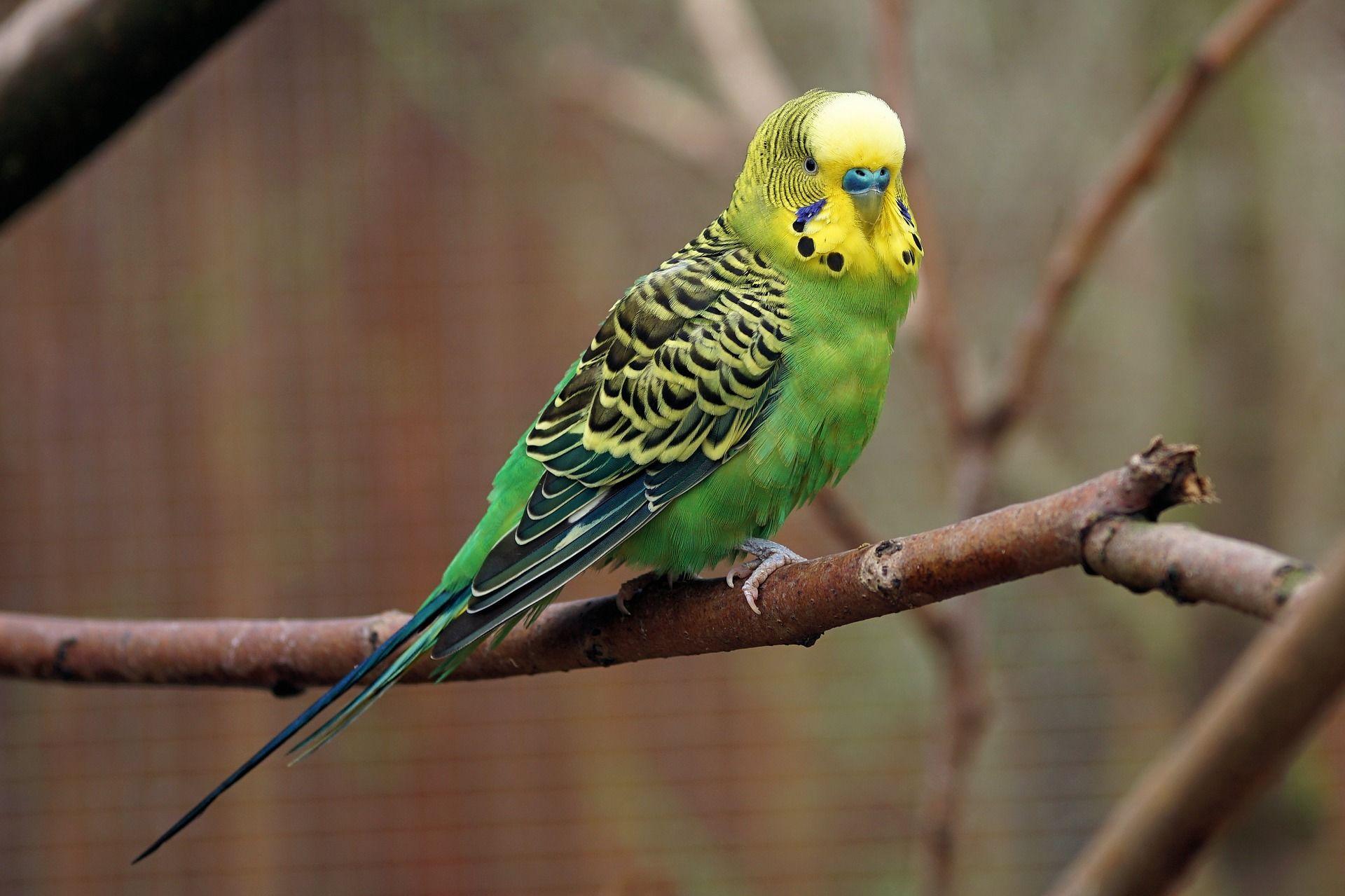 Лучшие домашние зеленые попугаи в домашних условиях