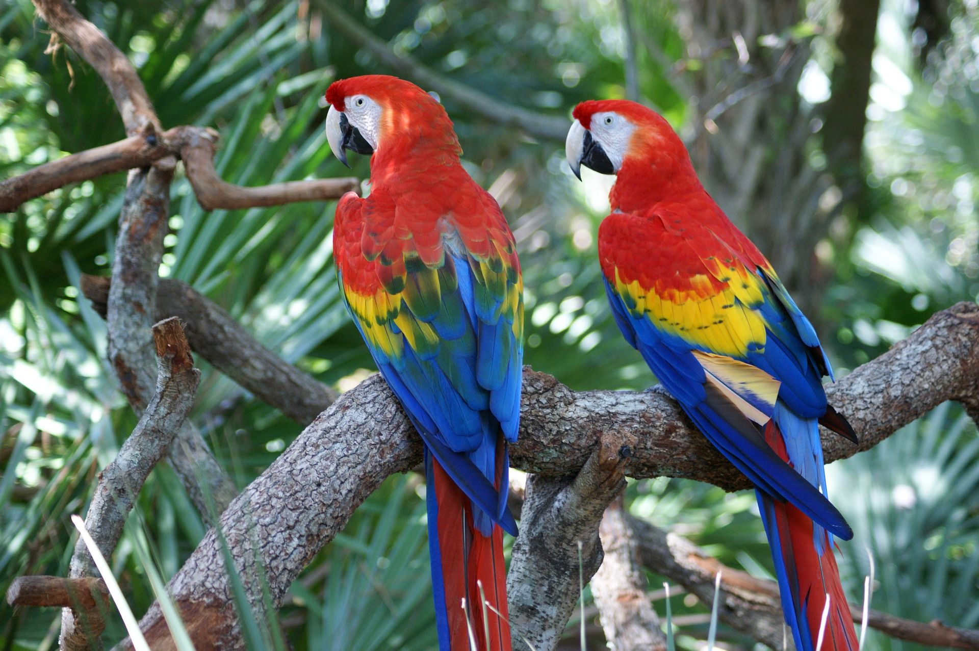 Оригинальное фото двух красных попугаев
