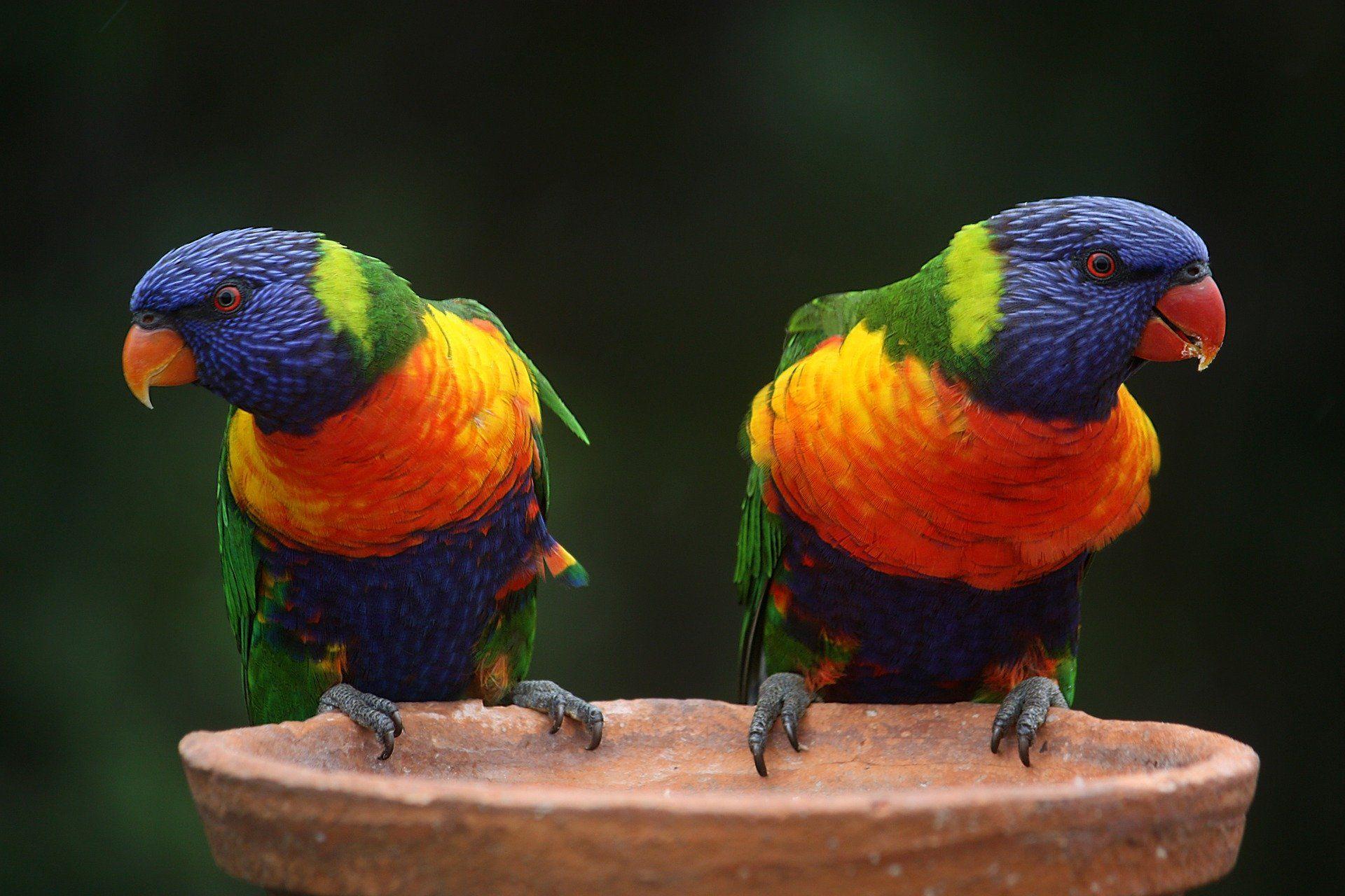 Домашний попугай красивой окраски дома