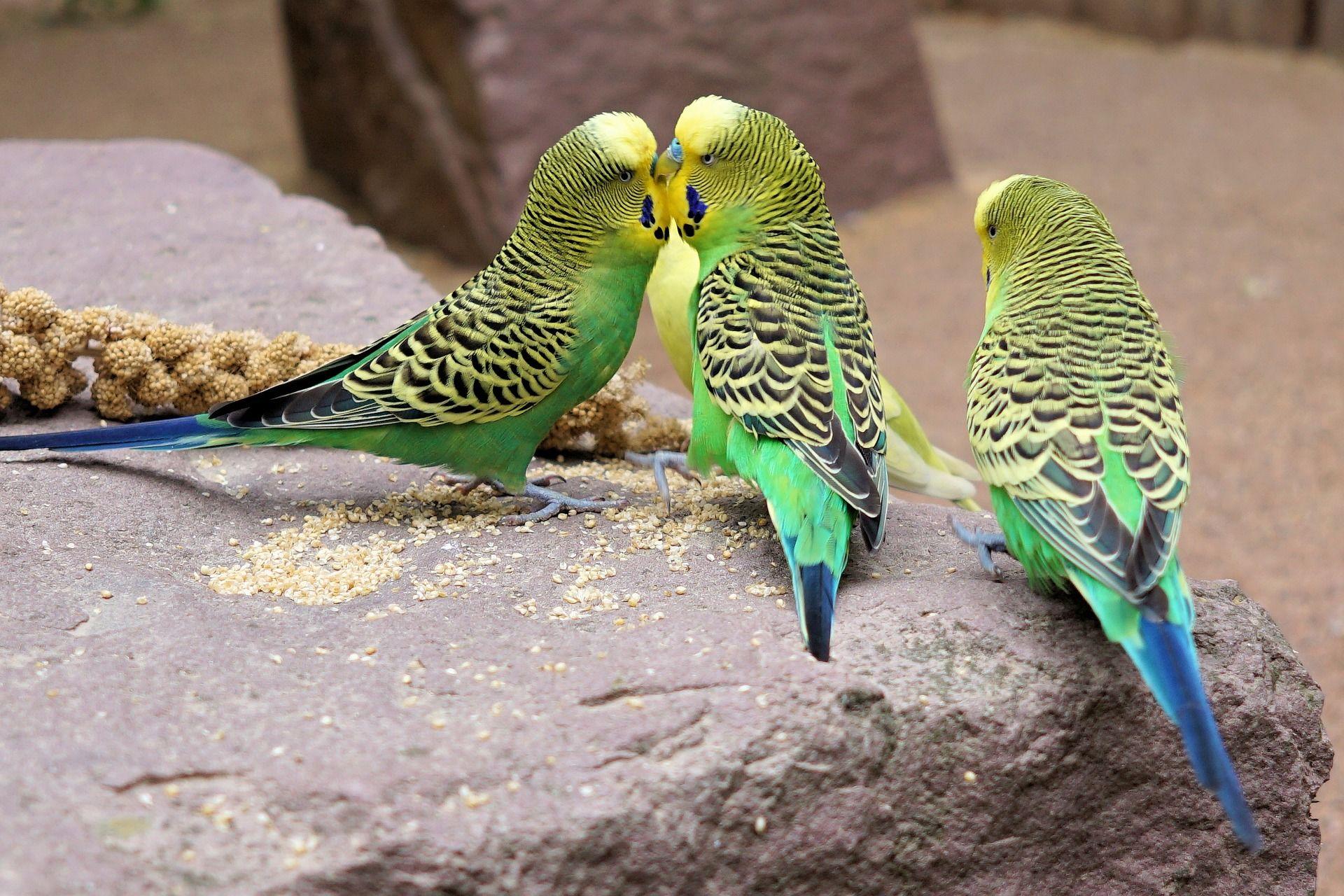 Необыкновенное фото красивых домашних попугаев