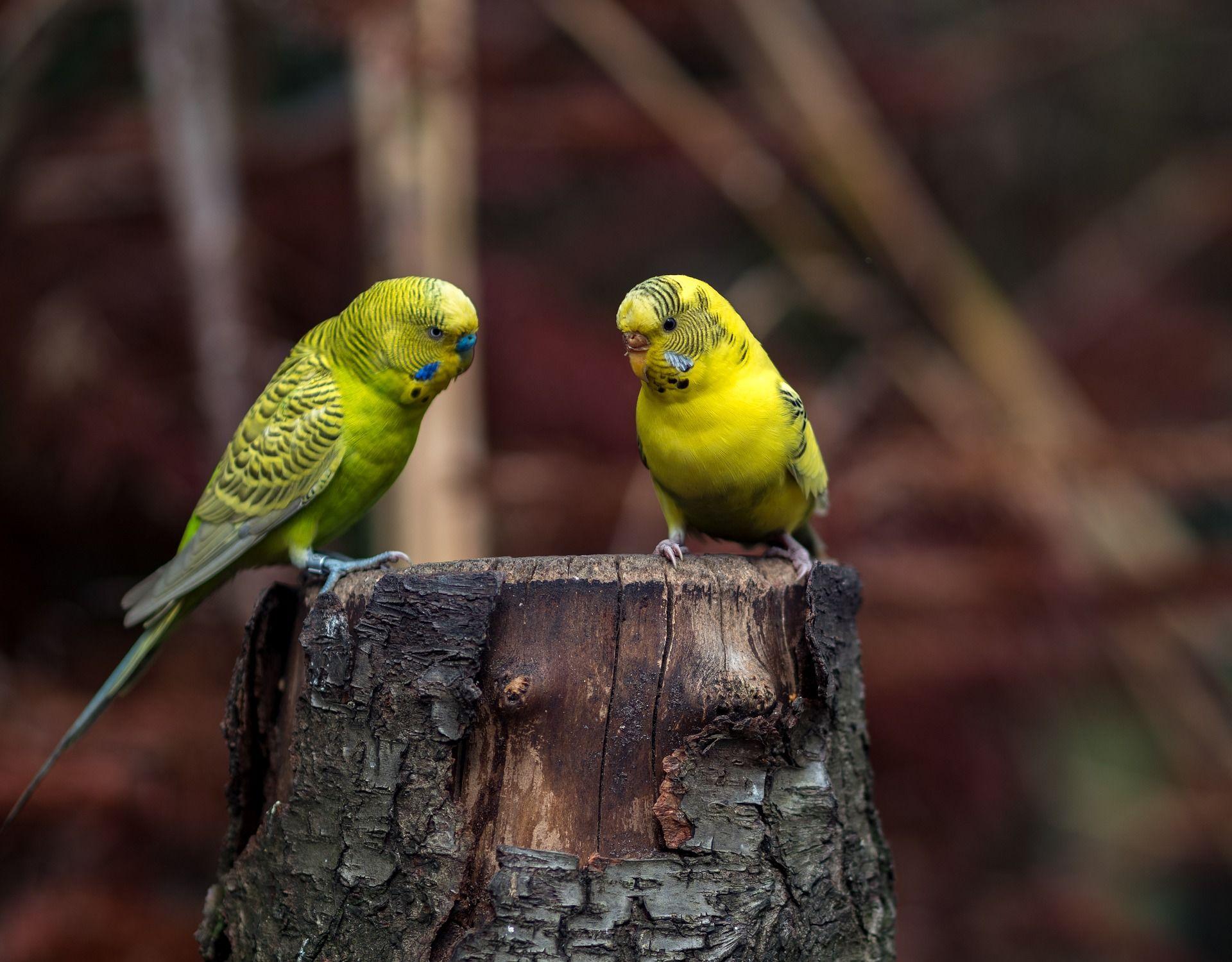 Смотреть красивое фото домашних попугаев в хорошем качестве