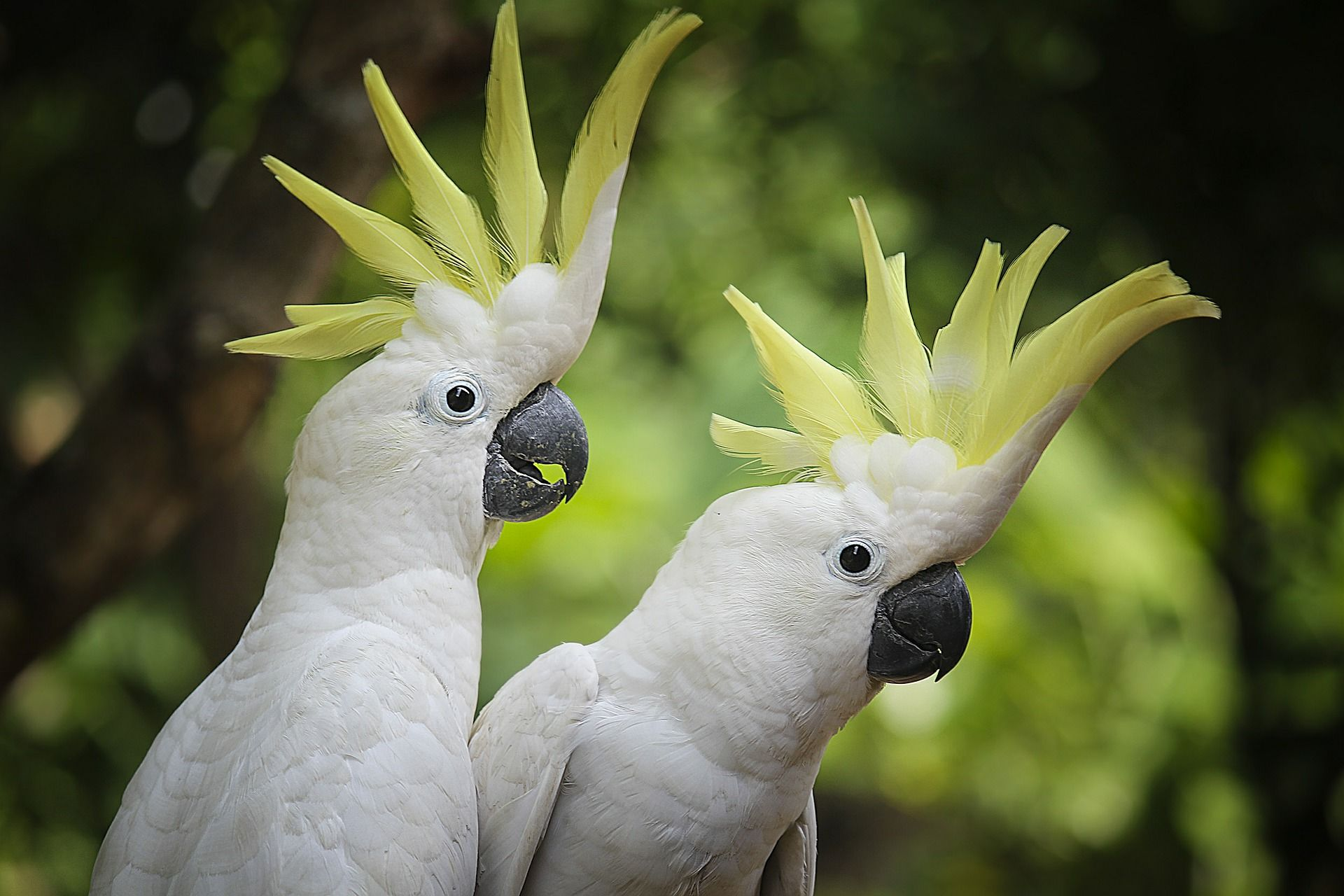 Смотреть лучшее фото двух белых домашних попугаев бесплатно