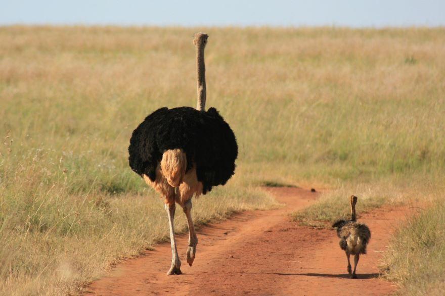 Смотреть красивые картинки страуса на природе