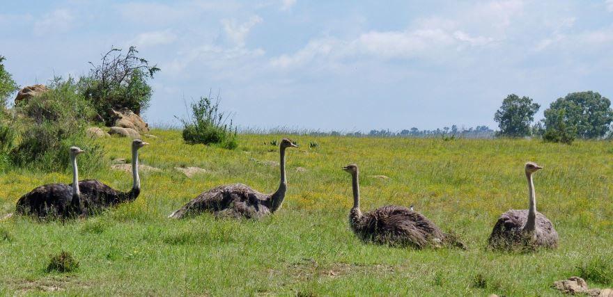 Смотреть лучшее фото страуса бесплатно