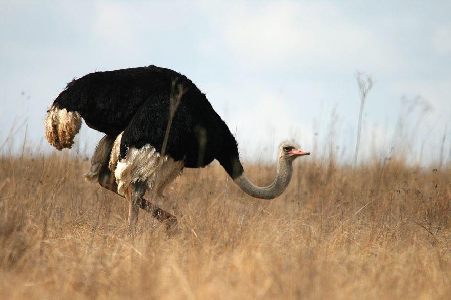 Скачать бесплатно картинку страуса в хорошем качестве