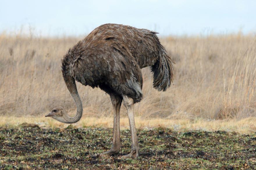 Смотреть красивое фото страус отдыхает