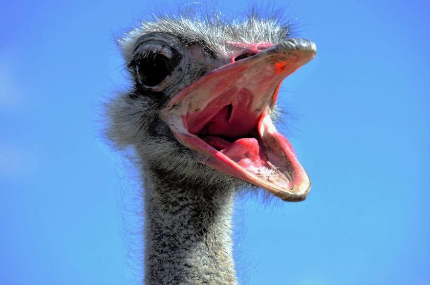 Смотреть бесплатно лучшее фото молодого страуса