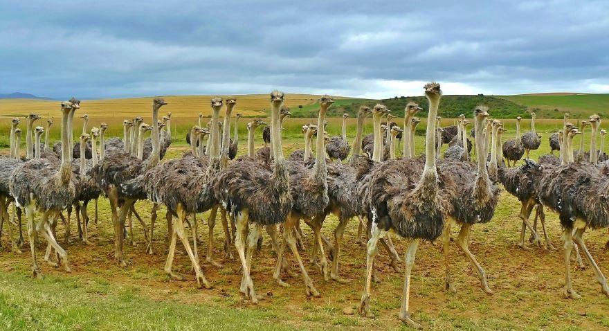 Скачать онлайн бесплатно красивую картинку страуса крупным планом