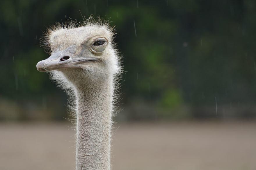 Смотреть лучшую картинку страус отдыхает в хорошем качестве