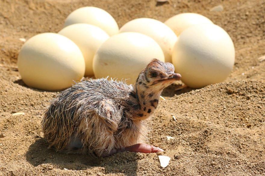 Смотреть лучшее фото страуса и детенышей