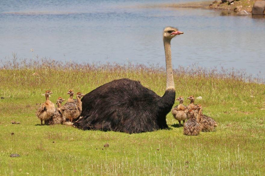 Смотреть красивую картинку страуса крупным планом