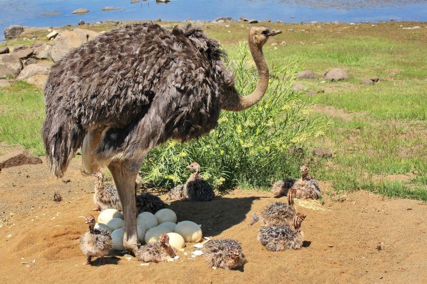 Смотреть лучшее фото трех страусов
