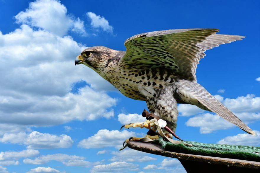 Смотреть интересное фото сокола в полете