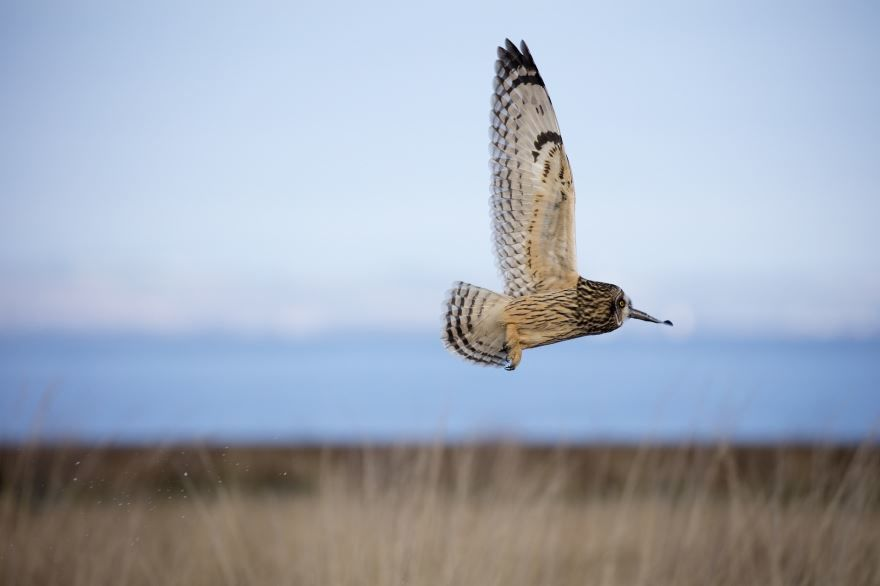 Красивая картинка пестрой совы на природе