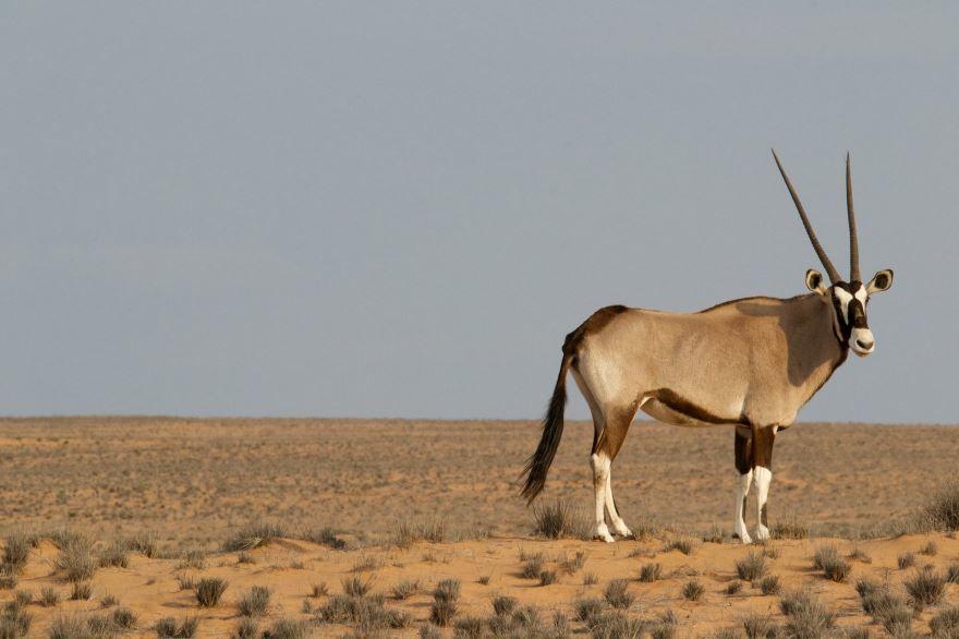 Скачать фото винторогой антилопы