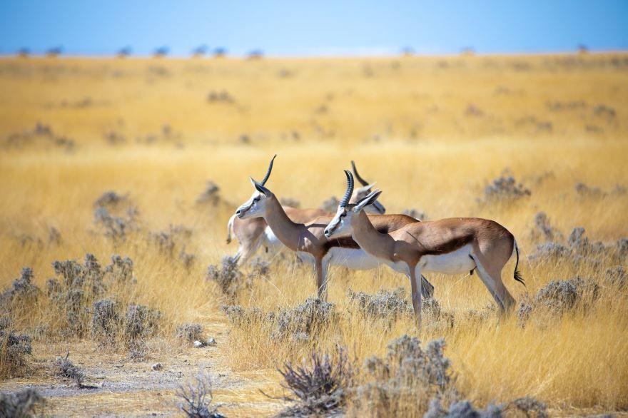 Грациозное животное Африки – антилопа