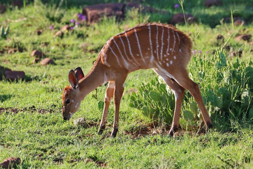 Бесплатные фото винторогого животного Африки - антилопы