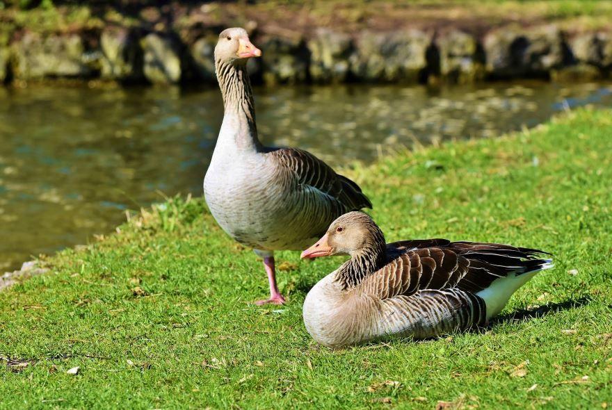 Скачать фото гусей онлайн