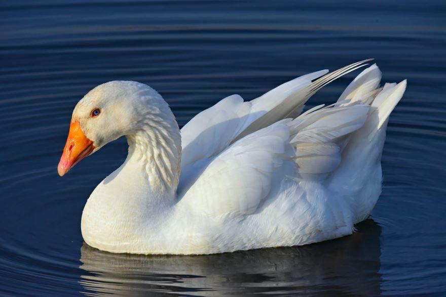 Лучшие фото и картинки с гусями