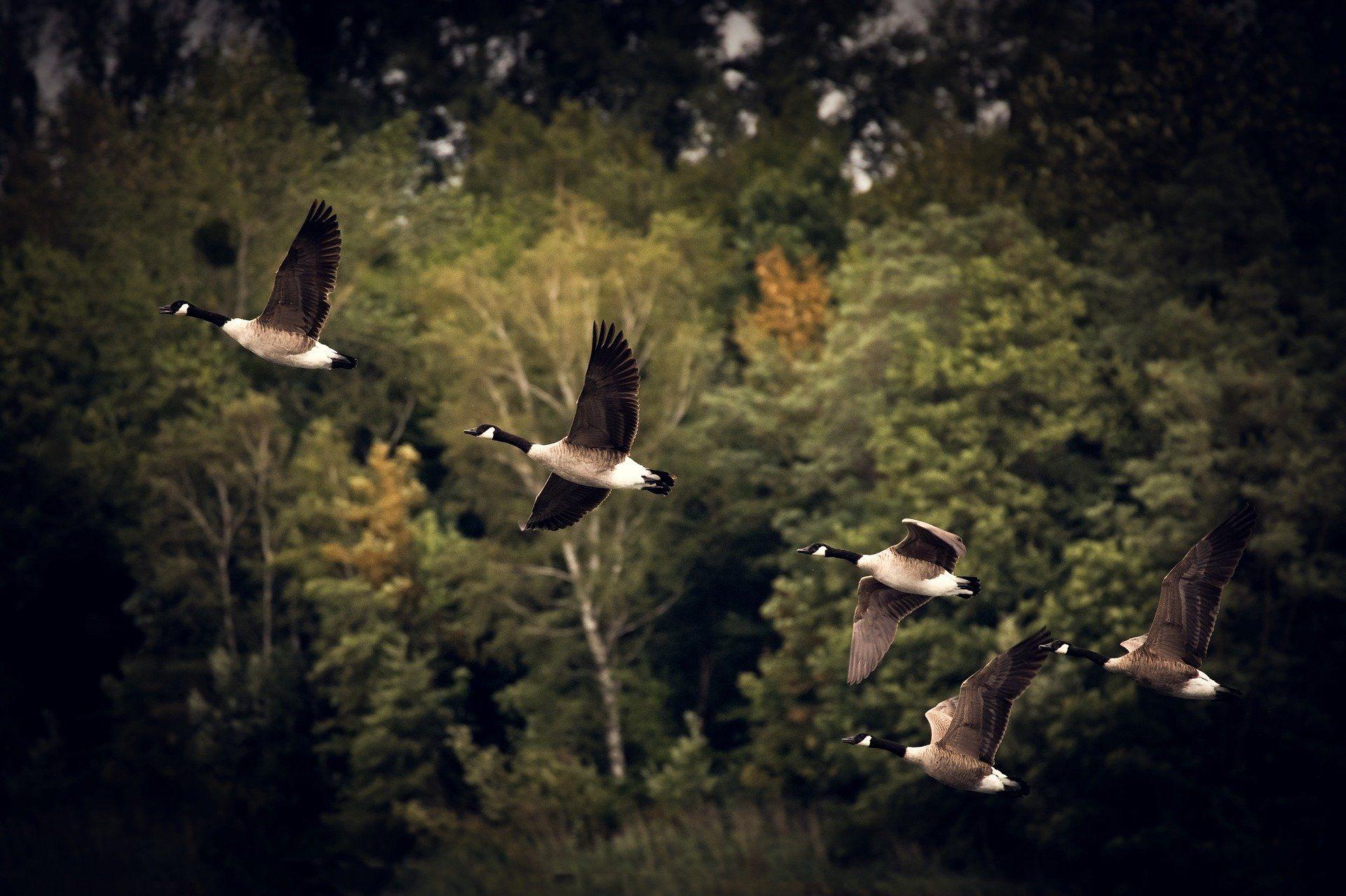 Скачать смешные фото гусей для детей