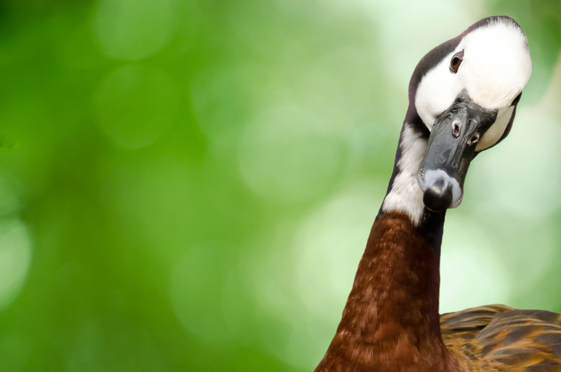 Смешные картинки с гусями