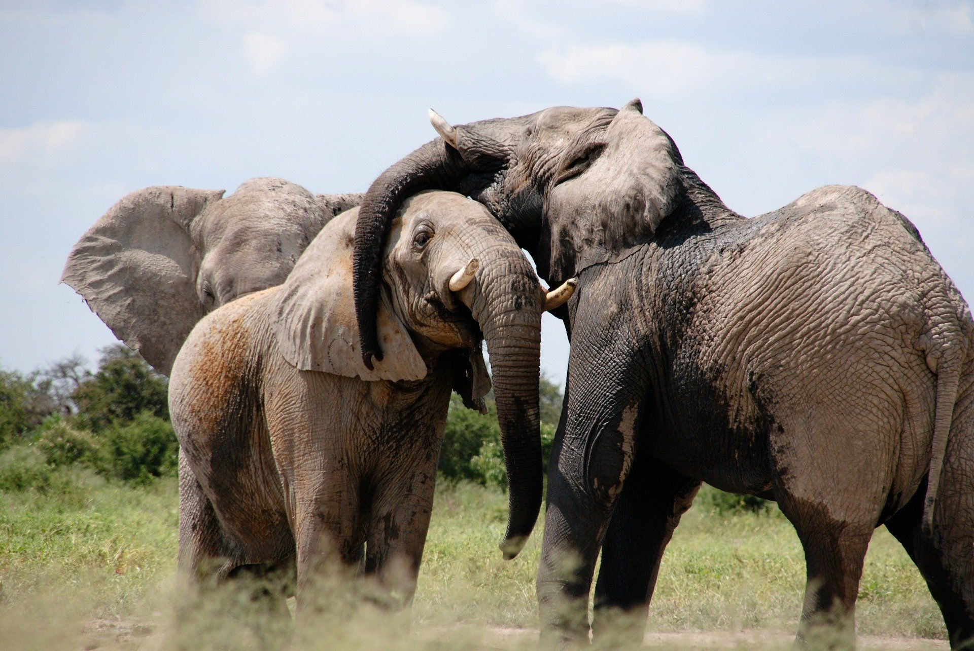 Красивое фото белого слона на природе