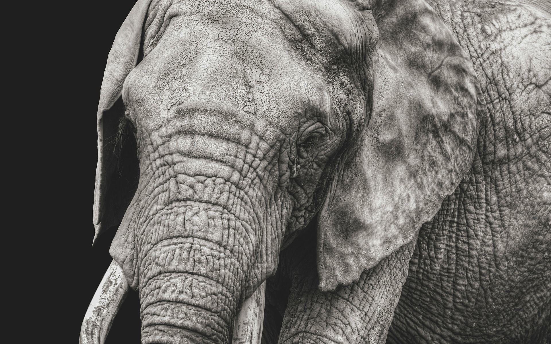 Смотреть лучшее фото белого слона крупным планом