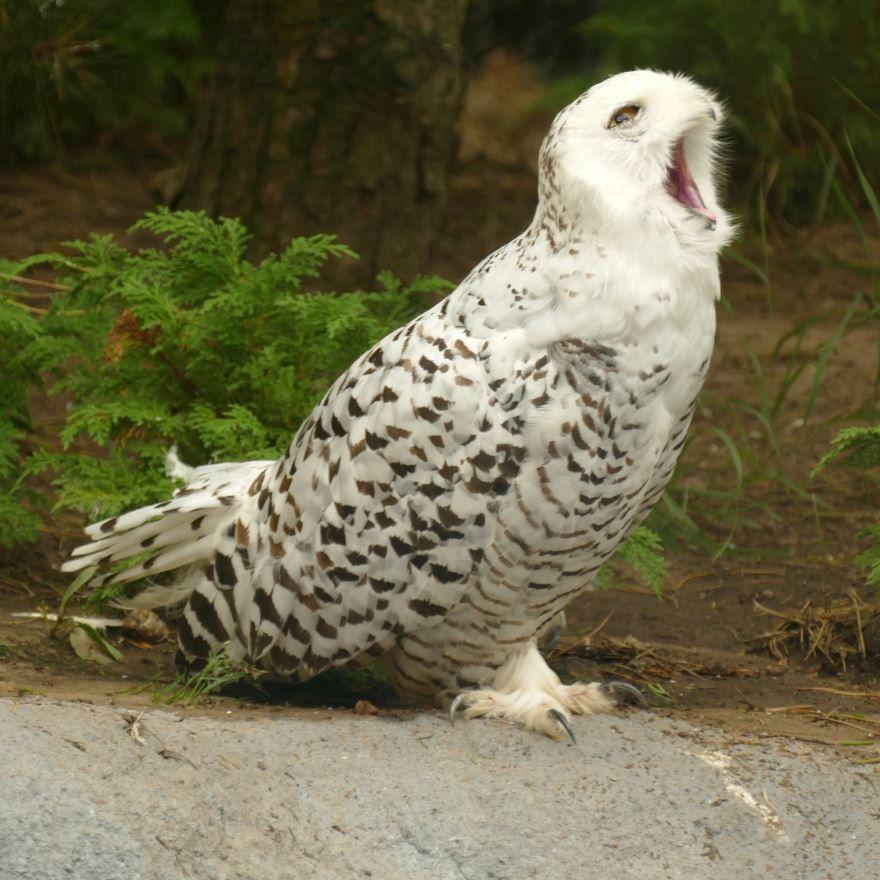 Смотреть красивое фото полярной совы бесплатно