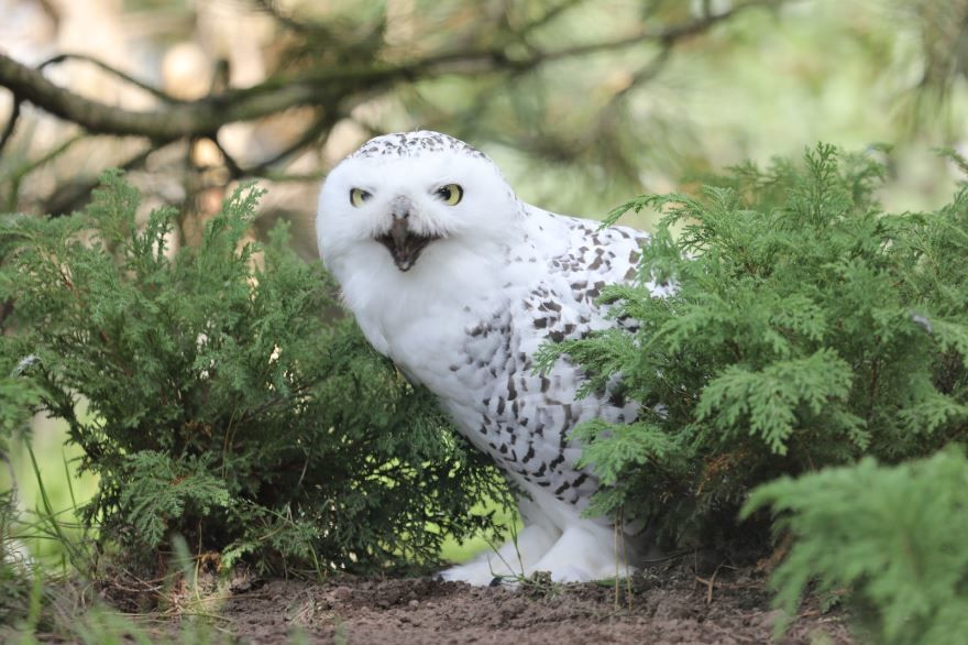 Скачать интересное фото полярной совы хорошего качества