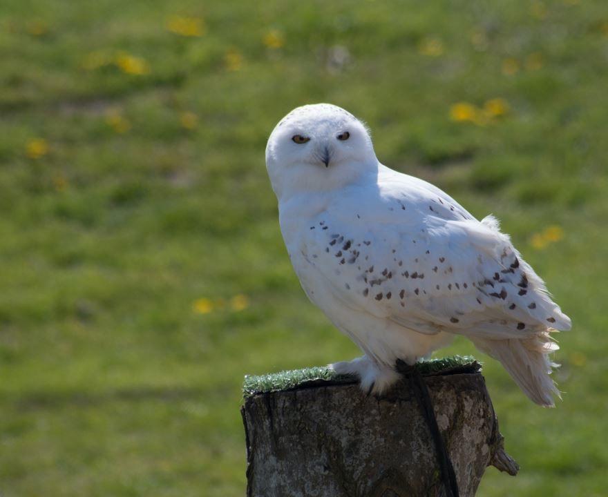 Скачать бесплатно красивую картинку полярной совы на природе