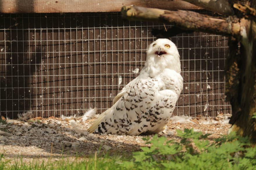 Красивая картинка полярной совы крупным планом бесплатно