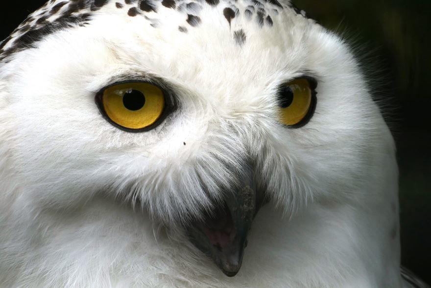 Смотреть лучшее фото полярной совы на природе