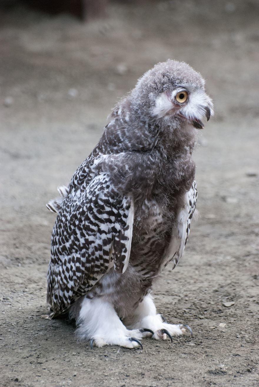 Красивая картинка полярной совы крупным планом