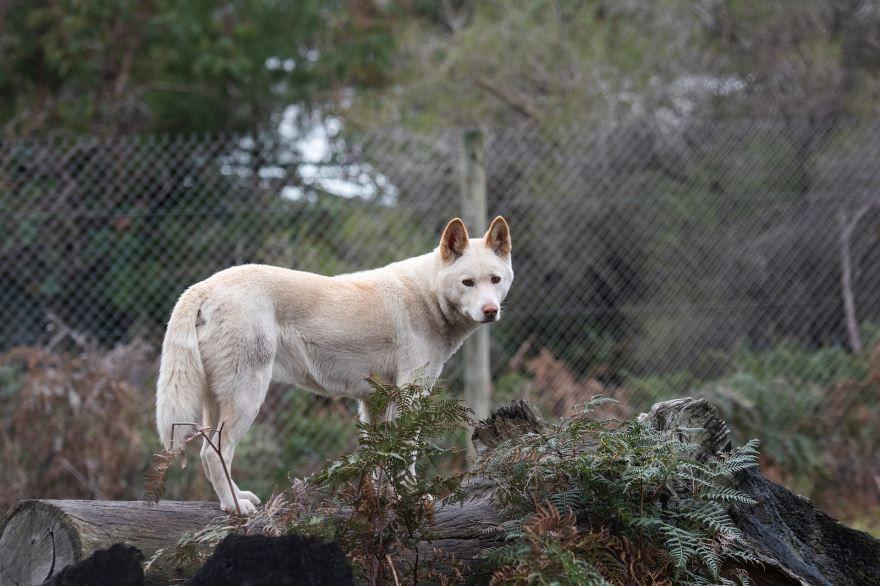 Смотреть фото собак динго