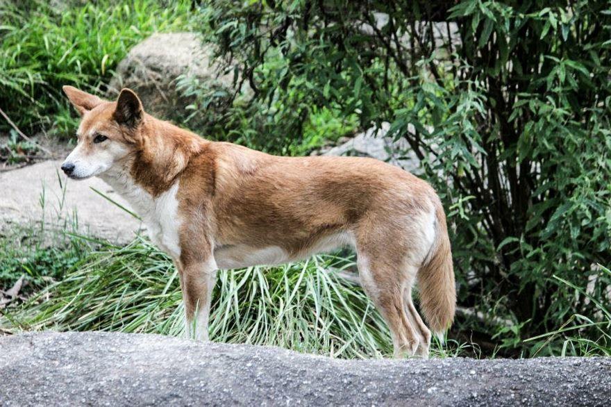 Смотреть фото, читать описание к картинкам с собаками динго