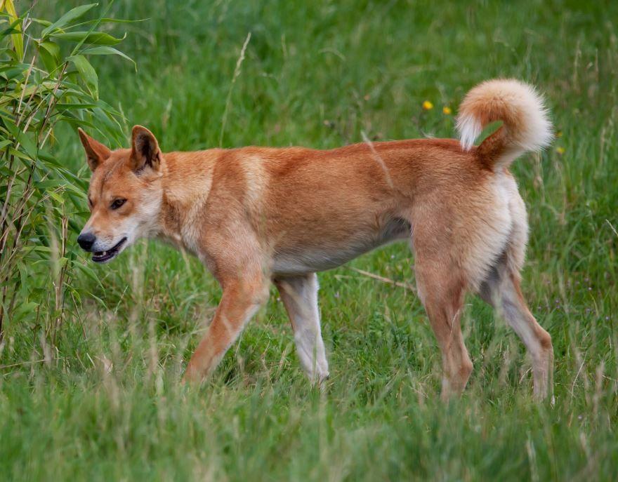 Лучшие фото собак динго