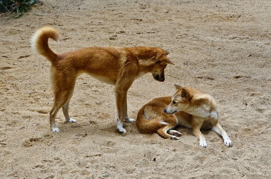 Фото собак динго из известной повести