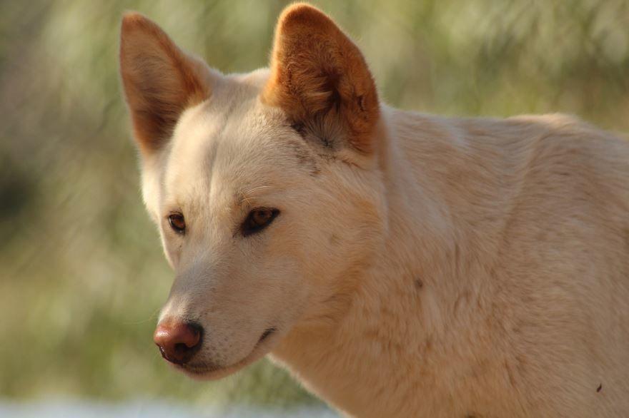Скачать картинки собак динго