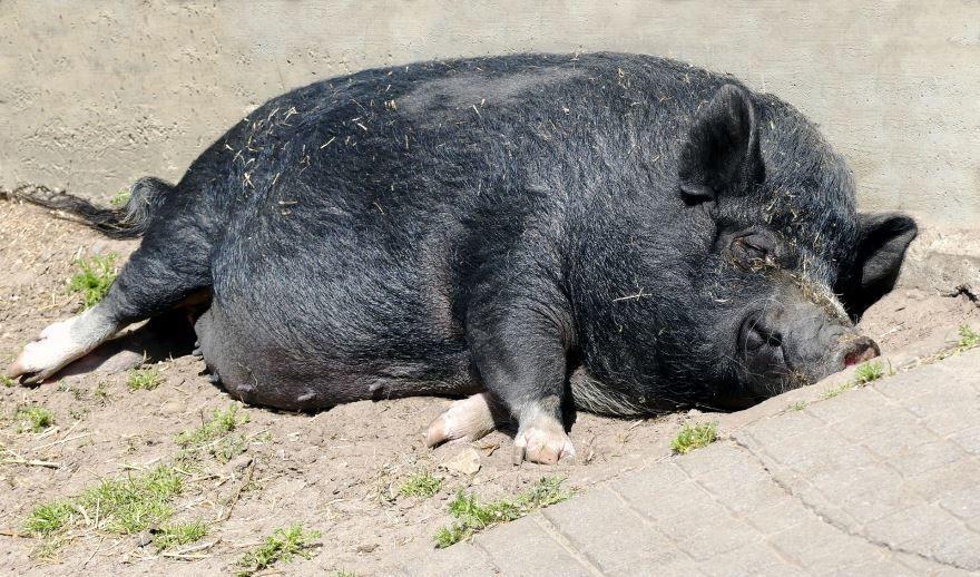 Домашняя свинья лучшее фото