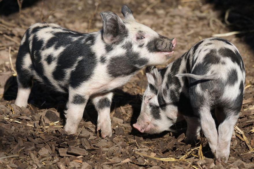 Смотреть фото свиней необычного окраса