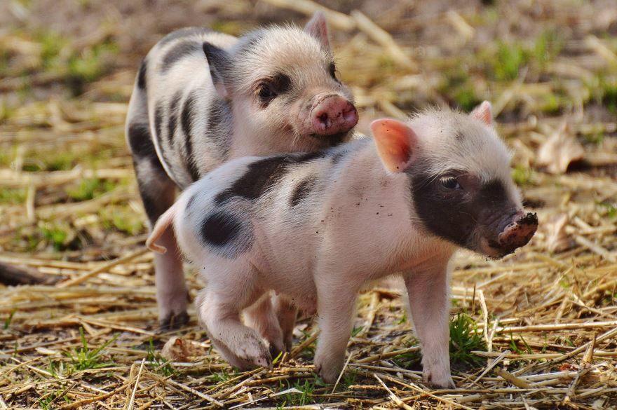Скачать бесплатно красивое фото свиньи и ее маленьких поросят