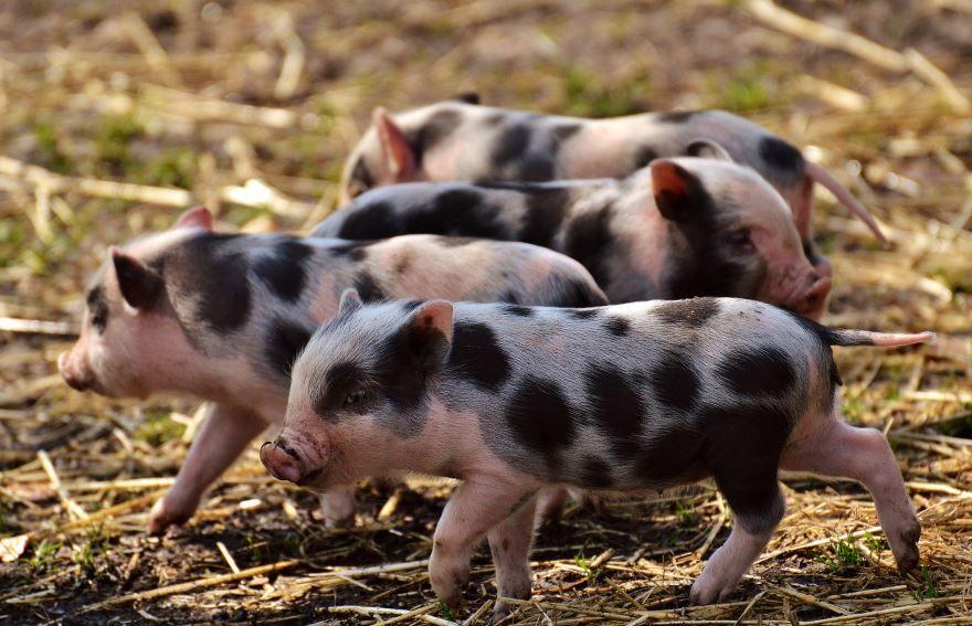 Скачать бесплатно красивое фото домашней свиньи бесплатно в хорошем качестве