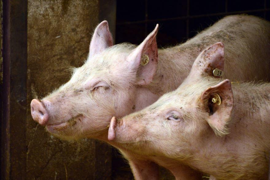Смотреть интересную картинку домашней свиньи на природе