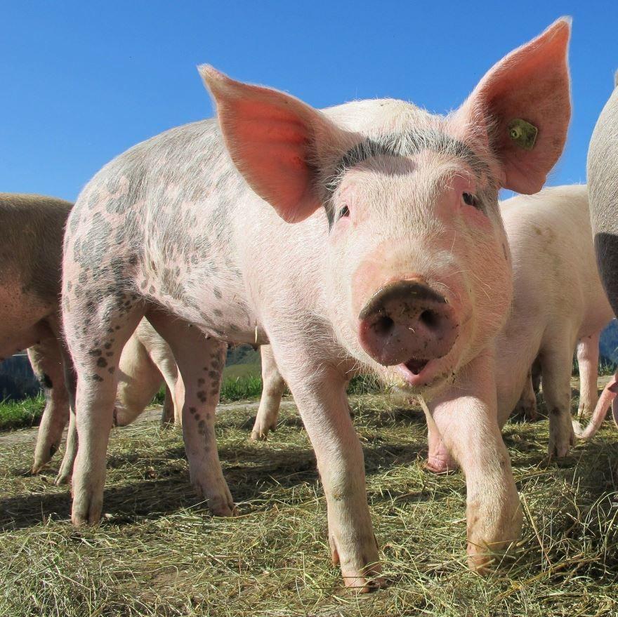 Скачать бесплатно фото свиньи и маленького поросенка в хорошем качестве